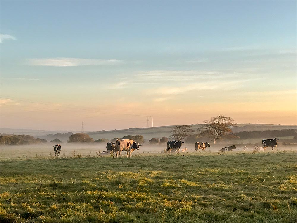 dairy farm cows morning mist sun family